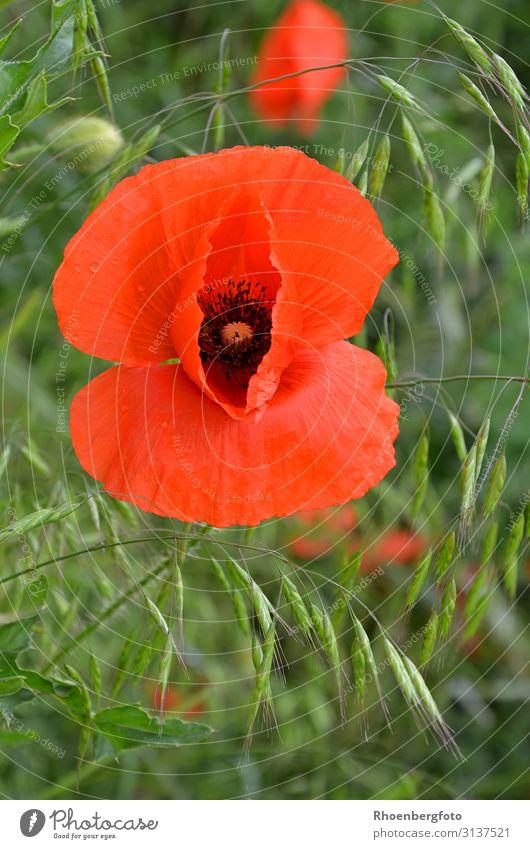 Mohnblume Natur Landschaft Pflanze Tier Sommer Wetter Schönes Wetter Blume Gras Blüte Nutzpflanze Wildpflanze Feld Blühend Duft verblüht schön Wärme Farbfoto
