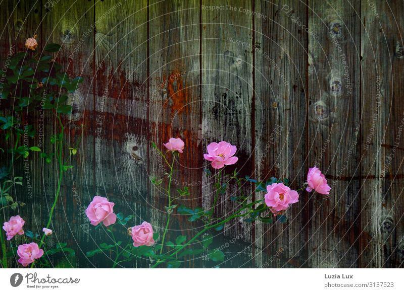 Herbstrosen Pflanze Blume Rose Garten Scheune Hinterhof braun rosa Farbfoto Außenaufnahme Menschenleer Textfreiraum rechts Textfreiraum oben Tag