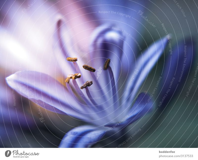 Afrikanische Lilie Natur Pflanze Sommer Blume Blüte Topfpflanze Garten Blühend Duft entdecken leuchten blau Sehnsucht Farbfoto Makroaufnahme Menschenleer Tag