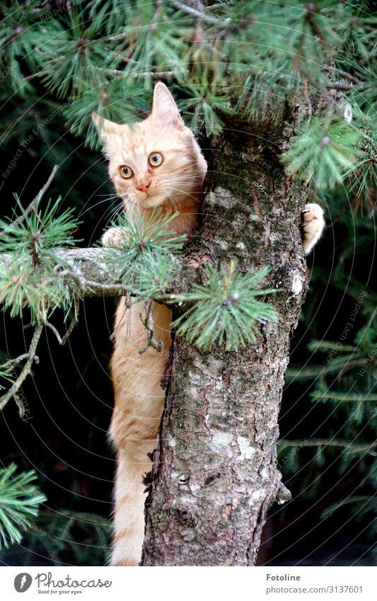Hiiiiilfeeeee! Umwelt Natur Pflanze Tier Baum Wildpflanze Haustier Katze Tiergesicht Fell 1 frei hell nah natürlich braun grün Klettern Jagd Tanne Farbfoto