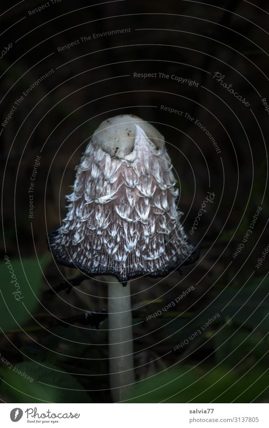 Schopftintling Umwelt Natur Pflanze Herbst Wildpflanze Pilz Pilzhut Tintlinge Wiese Wald Wachstum außergewöhnlich frisch lecker natürlich Wandel & Veränderung