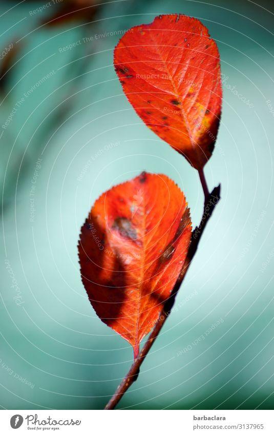 Blatt der Aroniabeere im Herbst Pflanze Schönes Wetter Sträucher Wildpflanze Garten leuchten orange rot türkis Farbe Natur Umwelt Wandel & Veränderung Farbfoto