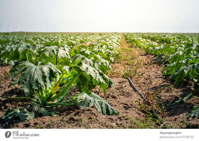 Zucchini auf dem Feld. Zucchini werden in Reihen angebaut. Gemüse Frucht Vegetarische Ernährung Sommer Garten Natur Landschaft Pflanze Erde Blume Blatt Wachstum