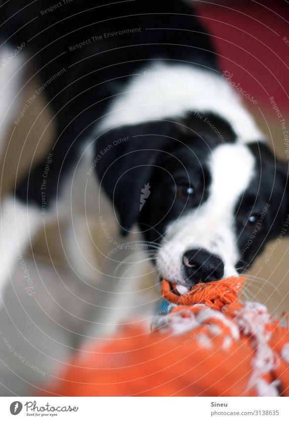 Gib ! Das ! Her ! (II) Spielen Tier Haustier Hund Tiergesicht Tierjunges Konflikt & Streit Tauziehen frech Fröhlichkeit schön listig lustig niedlich verrückt