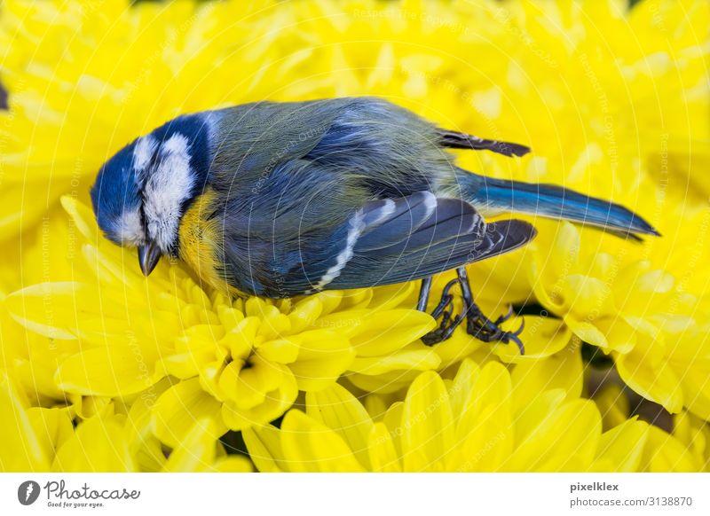 Tote Meise auf gelben Blumen ruhig Sommer Umwelt Natur Tier Blüte Blumenwiese Wildtier Totes Tier Vogel Meisen Sperlingsvögel 1 liegen schlafen trist blau