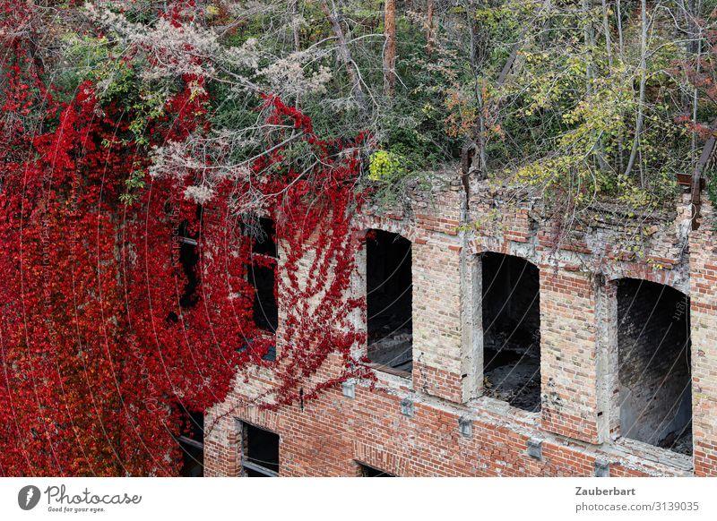 Roter Efeu, Dachwald und Ziegelwand Herbst Schnee Baum Sträucher Dachgarten Haus Bauwerk Gebäude Ruine Backsteinwand Mauer Wand Fenster Stein Wachstum
