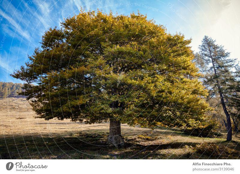 Einzelne Ulme in Herbstfarben Sommer Tapete Natur Landschaft Pflanze Himmel Wetter Baum Gras Blatt Grünpflanze Park Wiese Wald groß hoch blau braun gelb grün