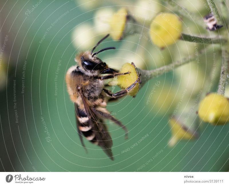 Biene auf Blume Natur Sommer Pflanze grün Tier ruhig Leben Umwelt Liebe Bewegung Gras fliegen Stimmung frei Wetter