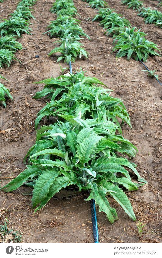 Artischockenpflanzen in Reihen. Artischockenanbau auf dem Feld Gemüse Ernährung Vegetarische Ernährung Landschaft Pflanze Blatt Wachstum frisch natürlich grün