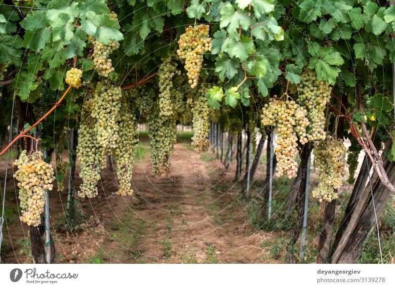 Dessert weiße Trauben. Vielfalt an Trauben zum Essen. Frucht Saft Sommer Garten Natur Landschaft Pflanze Herbst Blatt Wachstum frisch natürlich saftig gelb grün
