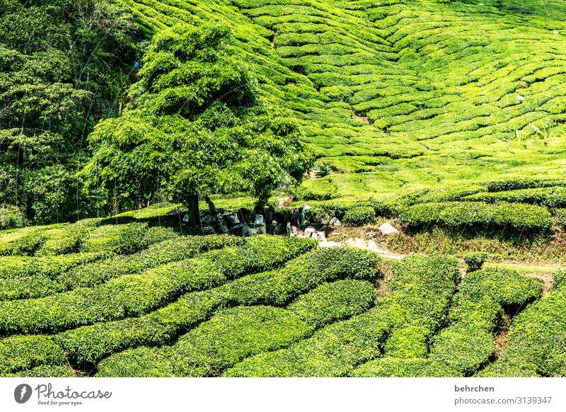 grün Ferien & Urlaub & Reisen Tourismus Ausflug Abenteuer Ferne Freiheit Umwelt Natur Landschaft Pflanze Baum Blatt Nutzpflanze Teepflanze Teeplantage Urwald