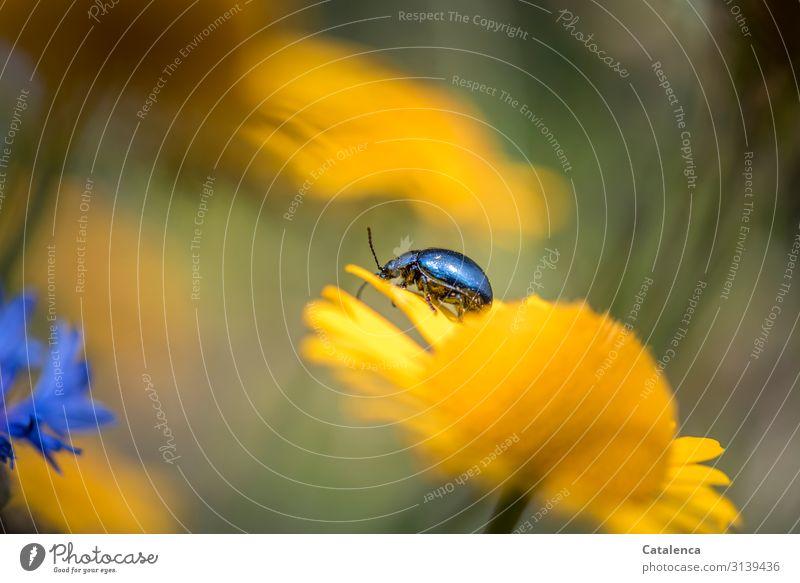 Der Himmelblaue Blattkäfer kabbelt auf einer gelben Blume in der Blumenwiese Tageslicht Sommer Garten Grün verblühen Tier Insekt Blüte Pflanze Flora Natur Käfer