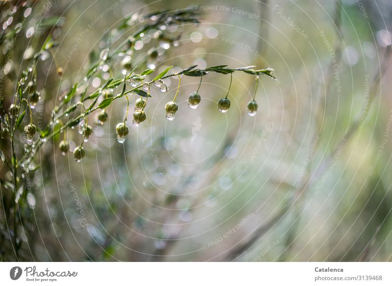 Es regnet, dicke Regentropfen hängen an den Leinsamkapseln Grau Grün Frühling Nahaufnahme Umwelt nass Blüte Natur schlechtes Wetter Regenrtopfen Wassertropfen