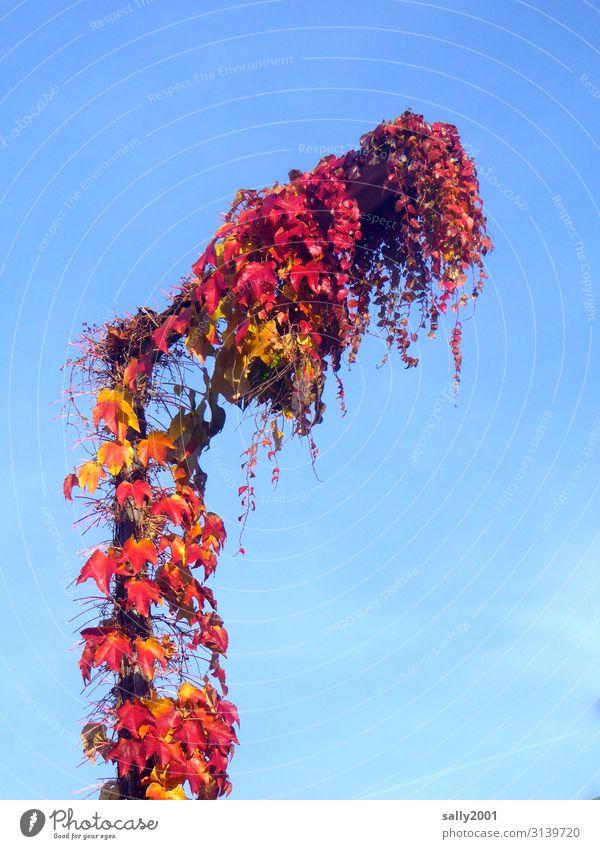 Herbstlicht... Wolkenloser Himmel Schönes Wetter Pflanze Wilder Wein Wachstum rot Natur Vergänglichkeit Straßenbeleuchtung bewachsen Herbstlaub Ranke verhüllen