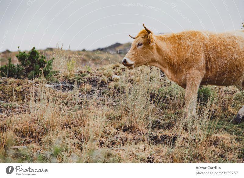 Eine braune Kuh, die in den Bergen frei herumläuft. Winter Berge u. Gebirge Natur Tier Nebel Gras natürlich schwarz weiß Sierra Nevada Hintergrund Bulle kalt