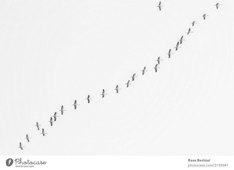 Kranichflug Wildtier Schwarm Zusammensein Glück Unendlichkeit Abenteuer Freiheit Natur diagonal Vogelschwarm Zugvogel Schwarzweißfoto Außenaufnahme Menschenleer
