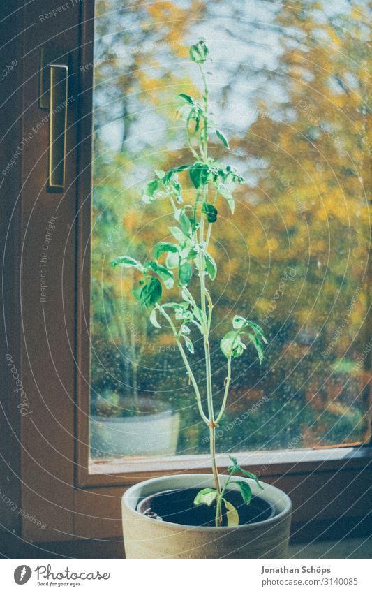 Basilikum im Topf auf dem Fensterbrett zuhause Gesundheit grün Nahaufnahme Ernährung Farbfoto Kräuter & Gewürze Pflanze Blatt Nutzpflanze frisch lecker