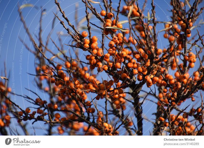 Sanddornstrauch mit orange Beeren vor blauem Himmel Frucht Ernährung Natur Pflanze Wolkenloser Himmel Herbst Sträucher Wildpflanze Beerensträucher