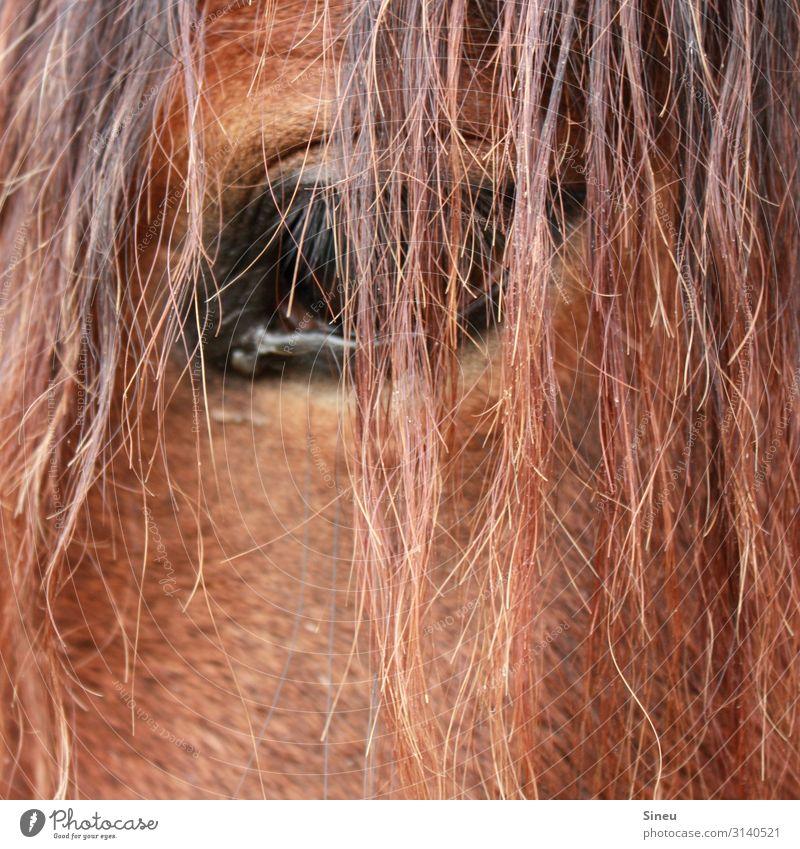 Das Auge macht das Bild, nicht die Kamera. Reitsport rothaarig langhaarig Tier Nutztier Pferd beobachten Freundlichkeit schön kuschlig Neugier niedlich klug