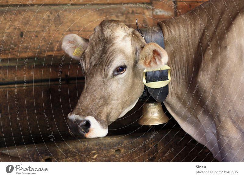 Kuh Natur schön weiß Tier ruhig Holz feminin braun Zufriedenheit Metall gold Kraft groß beobachten Neugier Gelassenheit