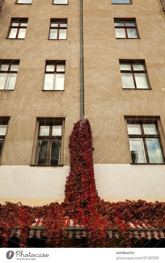 Wein an der Fassade Haus Wohnhaus Stadthaus Altbau Fenster Fensterfront Ranke Weinranken Pflanze Park Natur Menschenleer Textfreiraum Herbst Herbstlaub