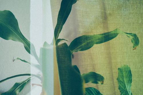 Mehrfachbelichtung aus Zimmerpflanze und Vorhang Gesundheit grün Nahaufnahme Farbfoto Pflanze Blatt Nutzpflanze natürlich Topfpflanze Grünpflanze anpflanzen