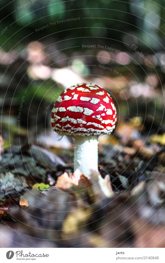 fliegen P Natur Pflanze Wald Herbst natürlich Wachstum Schönes Wetter Pilz Gift Wildpflanze