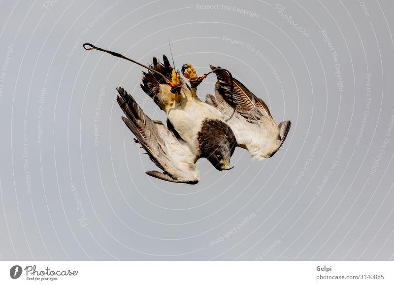 Porträt eines spanischen Falken in der Natur Jagd Hand Tier Himmel Park Wildtier Vogel natürlich wild Bussard Schnabel Fliege attackieren Sturzflug Tierwelt