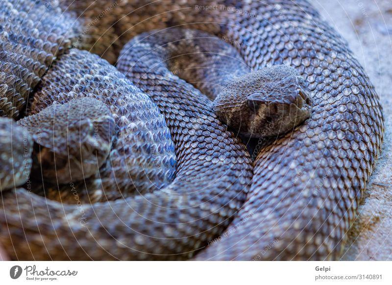Gefährliche Schlange mit braunen Farben Haut Mund Umwelt Tier Wald Urwald wild gefährlich Kopf Spanien Tierwelt Tiere Reptil Fauna Amazonas tropisch Terrarium