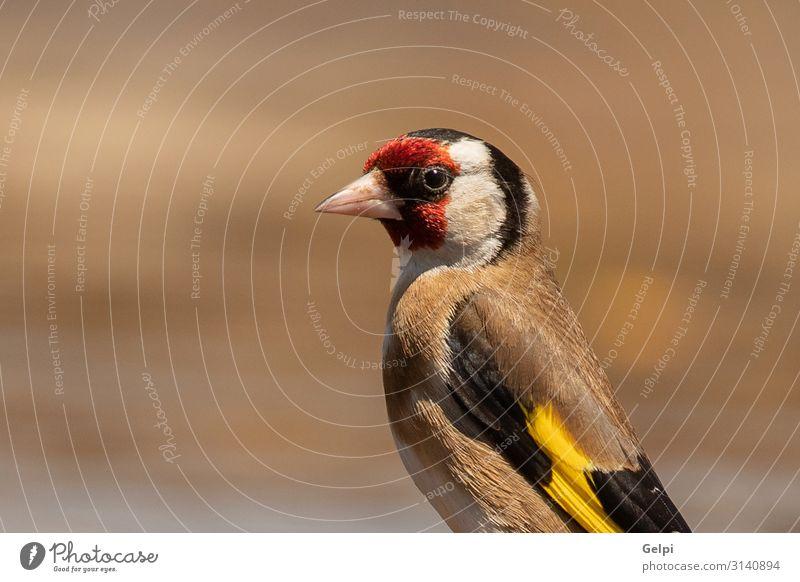 Schönes Porträt eines Goldzeisens schön Mann Erwachsene Natur Tier Vogel klein niedlich wild braun gelb rot schwarz Distelfink Feder Fink Singvogel Gefieder