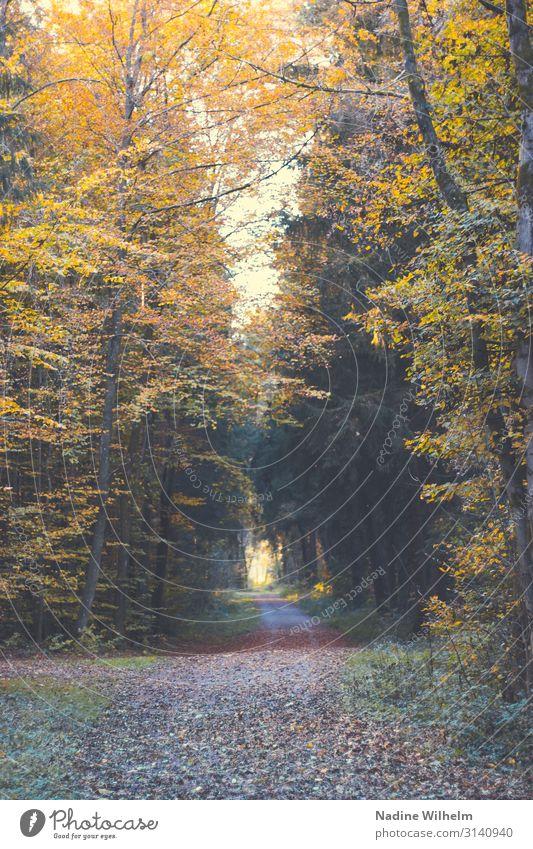 Herbstlicher Waldweg (Ebersberger Forst) Umwelt Natur Landschaft Pflanze Schönes Wetter Baum Blatt Deutschland lang natürlich trocken braun gelb gold grün