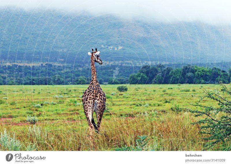 schöne einsamkeit Ferien & Urlaub & Reisen Tourismus Ausflug Abenteuer Ferne Freiheit Safari Natur Landschaft Wald Berge u. Gebirge Wildtier Fell Giraffe Muster