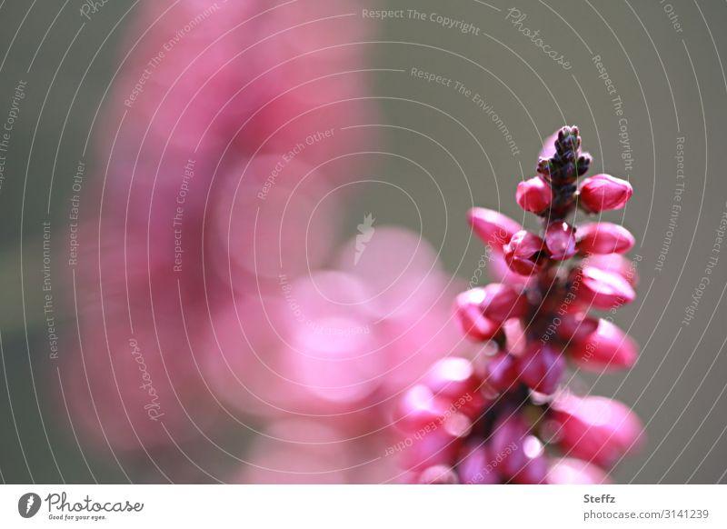 blühende Bergheide Natur Sommer Pflanze schön Umwelt Blüte natürlich Textfreiraum rosa Sträucher Romantik Blühend violett Lichtspiel Wildpflanze Heide
