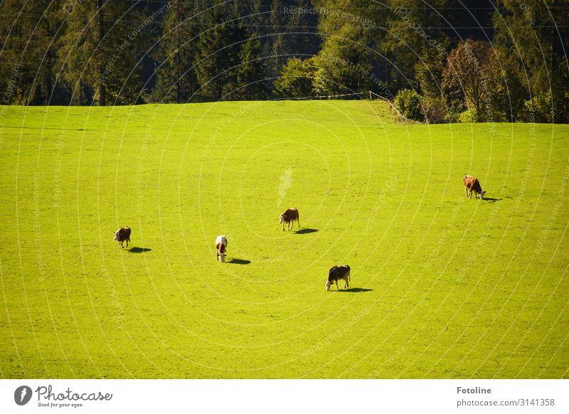 Von oben betrachtet, ganz klein. Umwelt Natur Landschaft Pflanze Tier Schönes Wetter Baum Gras Wiese Feld Wald Nutztier Kuh Tiergruppe Herde Ferne hell
