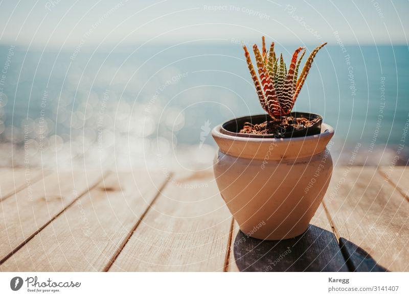a succulent one and in the background is the blue sea Natur Pflanze Grünpflanze Topfpflanze Küste Meer exotisch blau orange Gefühle planen green cactus