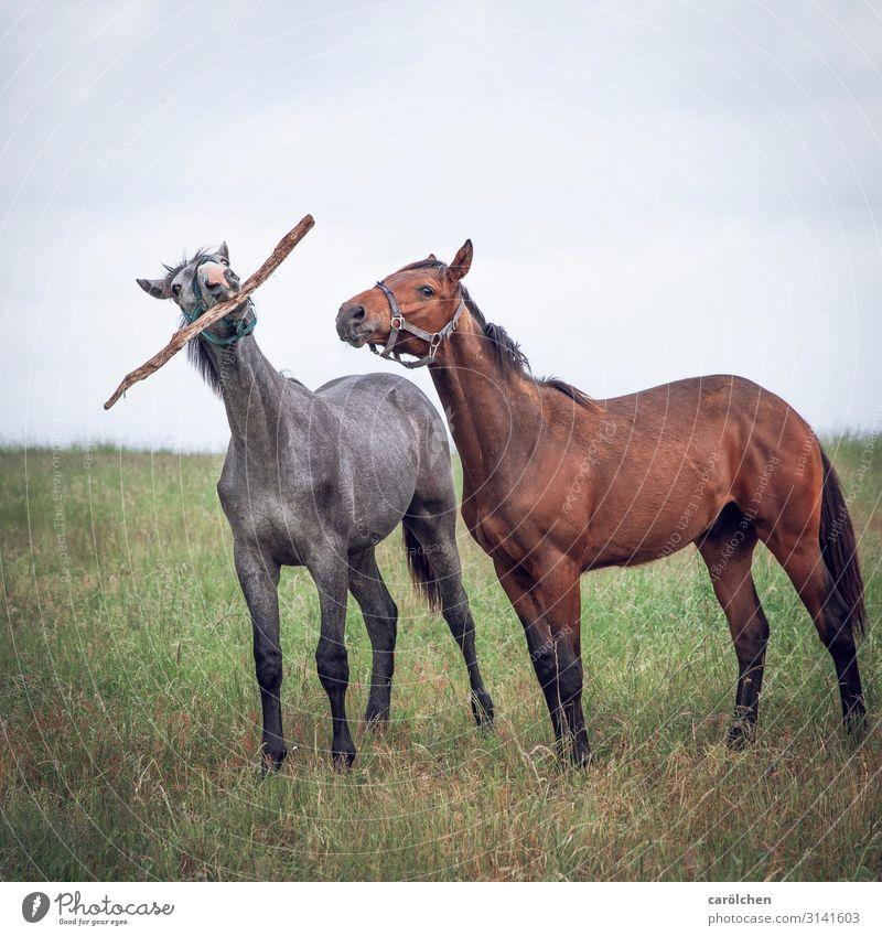Komm' wir machen einen auf Hund Tier Nutztier Pferd 2 Spielen Weide Stock lustig Stöckchen spielen Farbfoto Gedeckte Farben Außenaufnahme