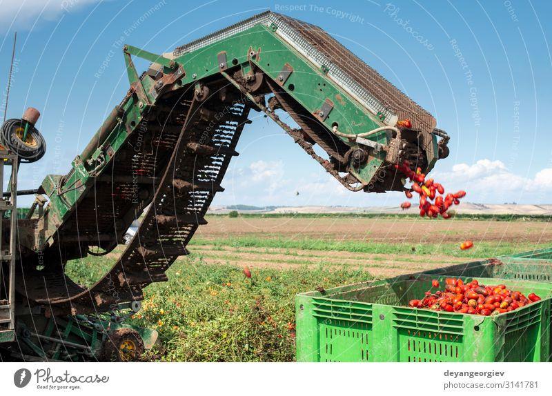 Maschine mit Transportlinie zum Pflücken von Tomaten auf dem Feld. Gemüse Sommer Garten Industrie Technik & Technologie Natur Pflanze Traktor Anhänger Wachstum