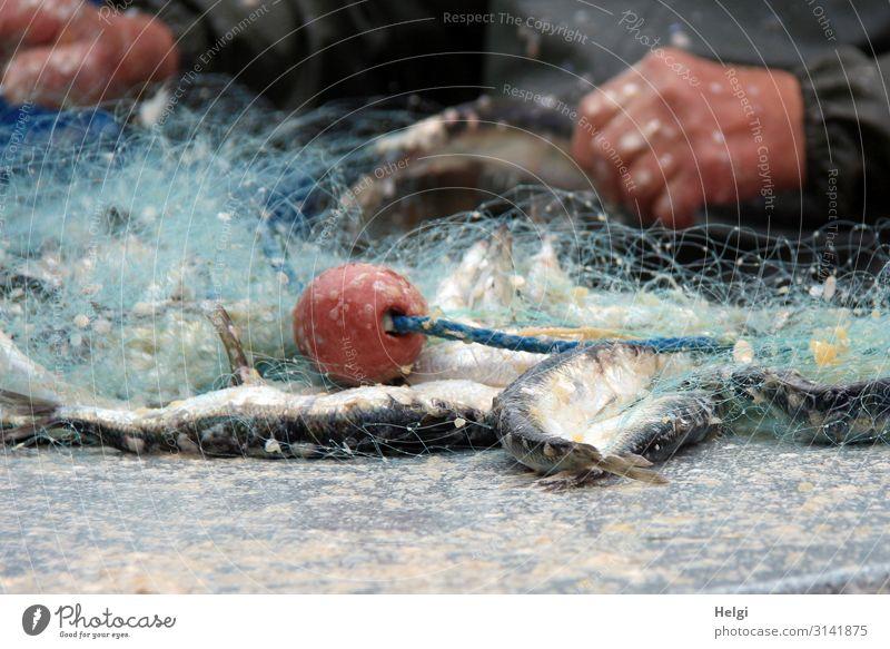 Fischernetz mit frisch gefangenen Heringen liegt auf einem Tisch Lebensmittel Arbeit & Erwerbstätigkeit Fischereiwirtschaft Arbeitsplatz Hand 1 Mensch