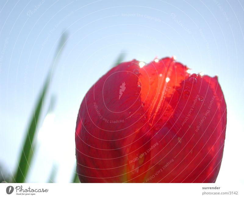 Tulpe Tulpe