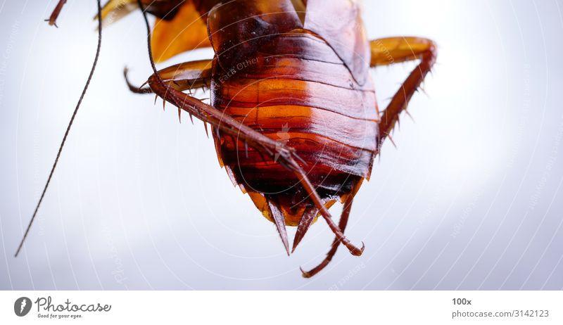 Schabe Nahaufnahme Körper Haus Küche Natur Tier Erde Antenne Flügel 1 krabbeln Blick dreckig Ekel gruselig Sauberkeit braun weiß Tod Völlerei Kontrolle Insekt