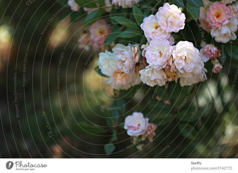 Romantik Natur Sommer schön grün Blume Umwelt Blüte natürlich Deutschland Garten Textfreiraum rosa Stimmung ästhetisch Blühend
