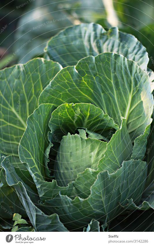 Superfood Lebensmittel Gemüse Kohl Kohlblätter Kohlgewächse Gemüsegerichte Gemüsekohl Bioprodukte Vegetarische Ernährung Vegane Ernährung Gesunde Ernährung