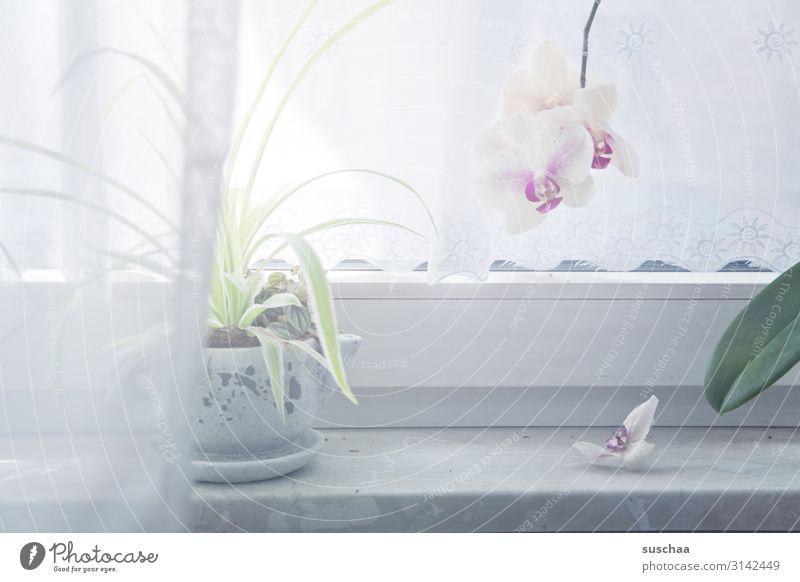 orchidee am fensterplatz Fenster Fensterbrett Vorhang Gardine hell erleuchten Pflanze Topfpflanze Blatt Blume Blüte Orchidee weisse Orchidee Durchblick