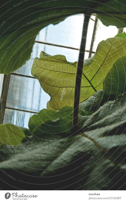 blättrig Blatt Printmedien Botanik Botanischer Garten Blattgrün groß Blattadern Stiel Stengel Fenster Fensterscheibe Wachstum exotisch Pflanze Gewächshaus