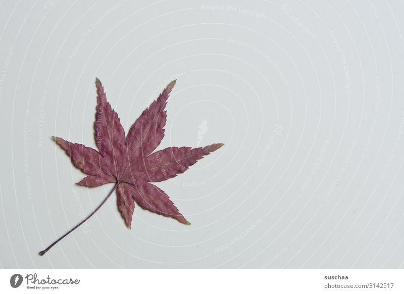 blatt Blatt Baum Natur Herbst gezackt Stern (Symbol) Spitze rot Herbstfärbung herbstlich getrocknet flach Basteln Strukturen & Formen Stengel Blattadern