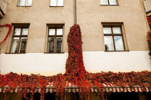 Wein an der Fassade Natur Pflanze Haus Fenster Herbst Textfreiraum Park Wohnhaus Herbstlaub Altbau Ranke Stadthaus Fensterfront Weinranken