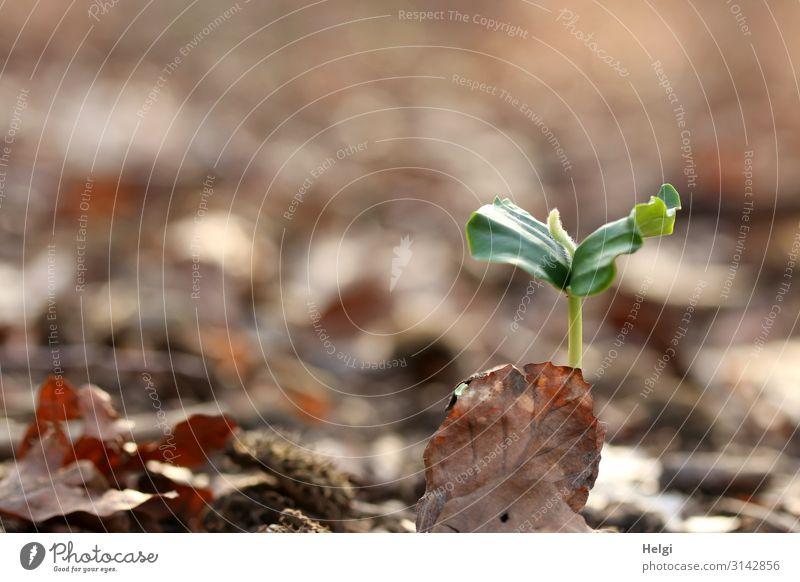 Nahaufnahme einer jungen Buchenpflanze auf dem Waldboden Umwelt Natur Pflanze Frühling Blatt Wildpflanze Keim dehydrieren Wachstum ästhetisch authentisch