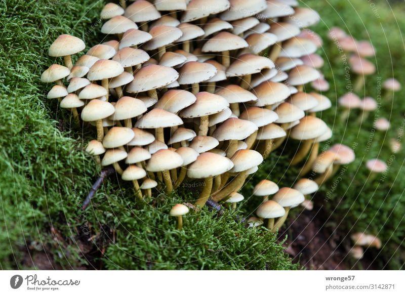 wörtlich genommen | wie Pilze aus dem Boden schießen Waldboden bodennah Moos grün Natur Außenaufnahme Herbst Farbfoto Tag natürlich Umwelt
