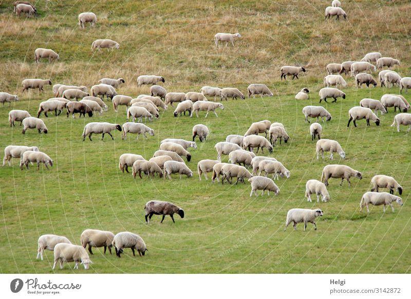 Schafherde auf Futtersuche auf einer großen Wiese Umwelt Natur Landschaft Pflanze Tier Gras Nutztier Fressen stehen ästhetisch authentisch Zusammensein
