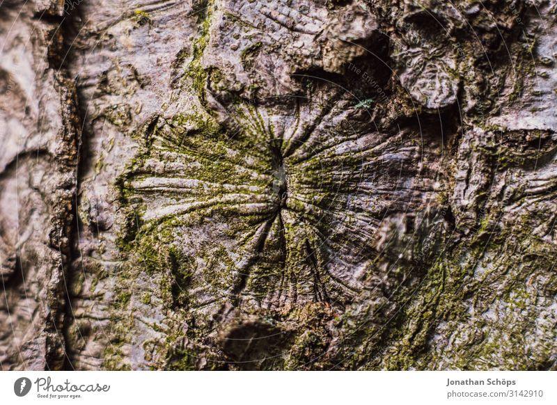 Baumrinde Außenaufnahme Jahreszeit Outdoor herbst natur Anus Rinde Nahaufnahme Form Rosette Hinterteil arschloch Arsch Arsch der Welt Natur Farbfoto Wald